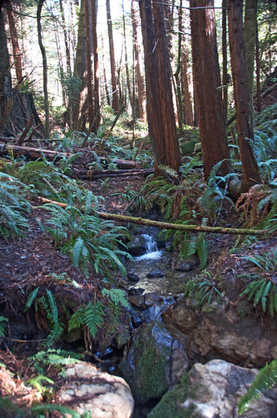 A small stream trickles through the ancient ecosystem of sword ferns and redwood trees
